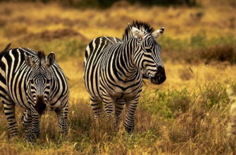 зебры фото
