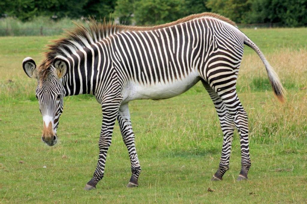 Зебра Греви - Equus grevyi