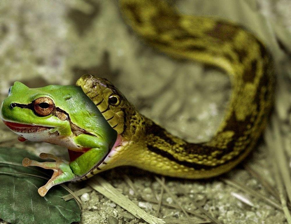 Змея ест лягушку