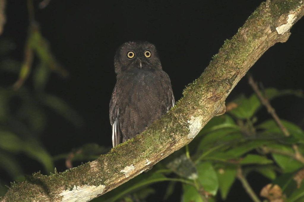 Анжуанская совка - Otus capnodes