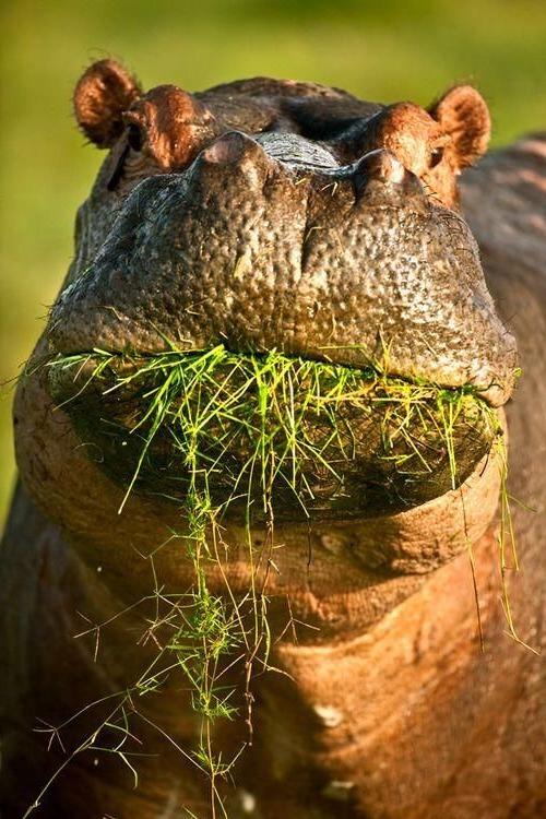 бегемот ест траву