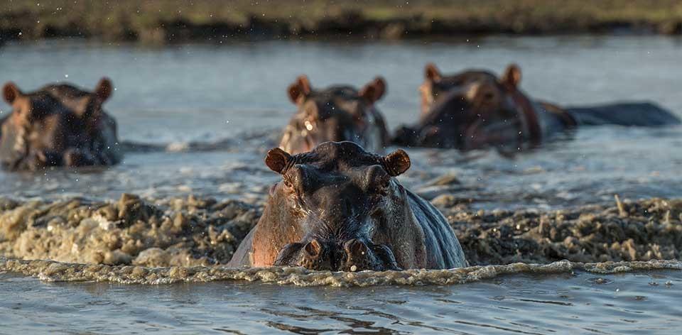 бегемоты в реке