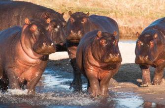 фото бегемотов
