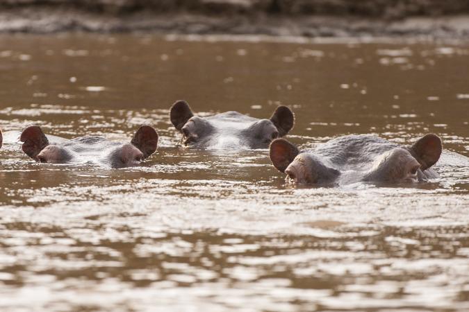фото бегемотов воде