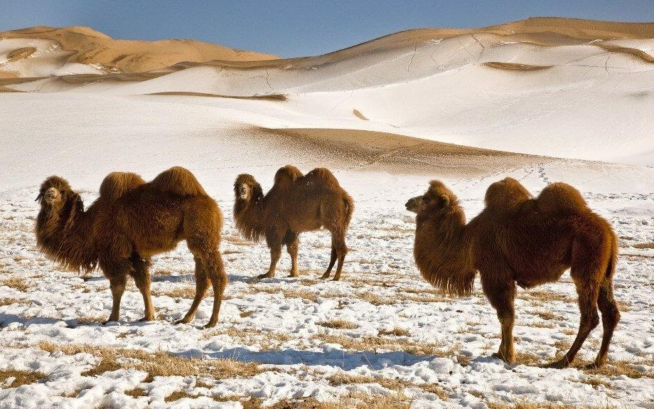 хаптагай верблюд в пустыне Гоби