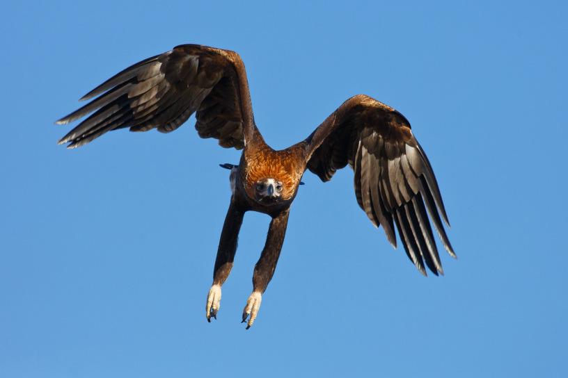 клинохвостый орёл - Aquila audax