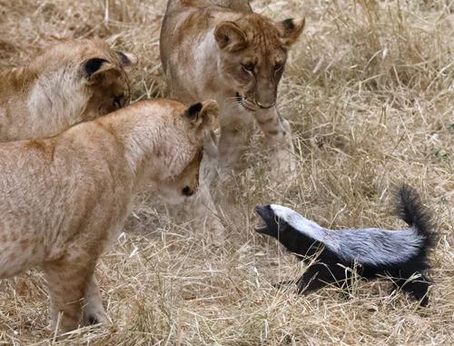 медоед и львы