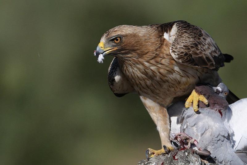 Орёл карлик - Aquila pennata