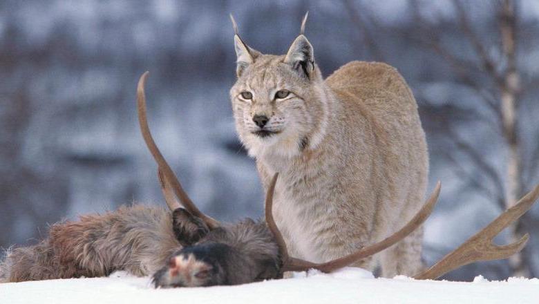 рысь и олень