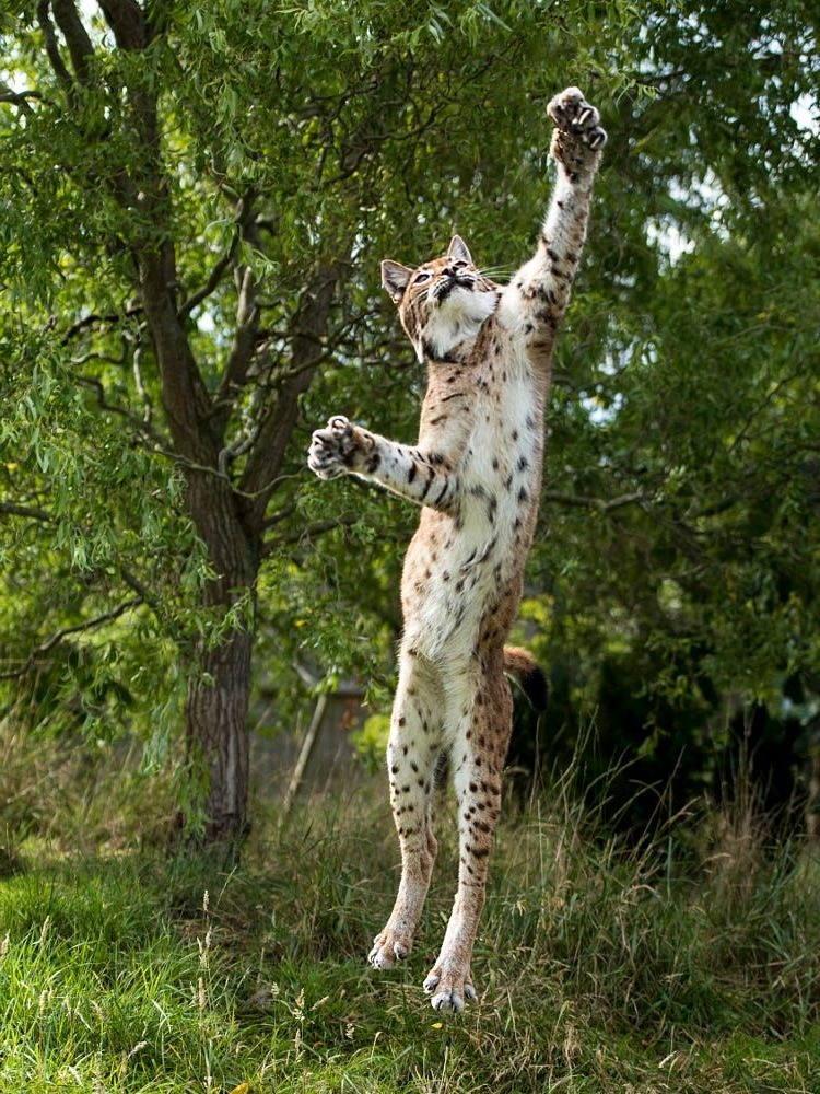 рысь в прыжке