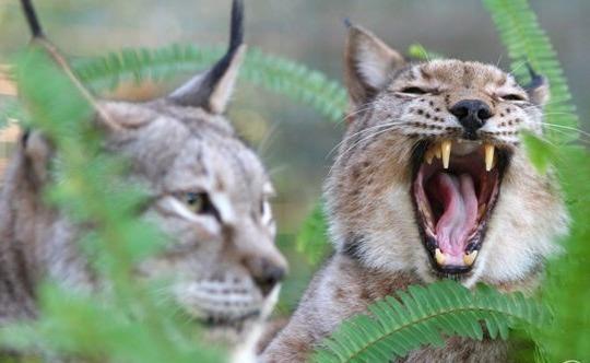 рысь зевает