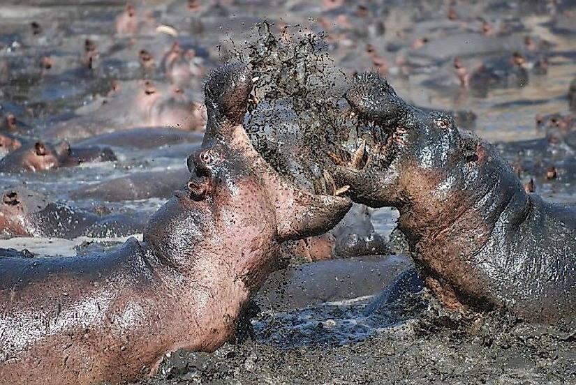битва бегемотов