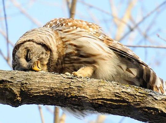 сова спит лежа на ветке