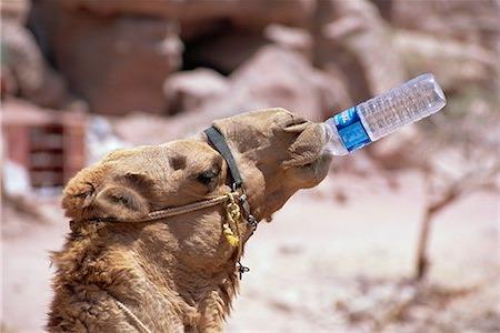 верблюд пьёт из бутылки