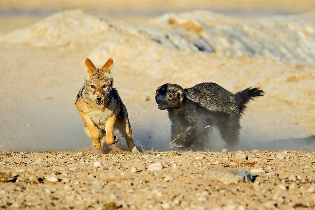 медоед против волка