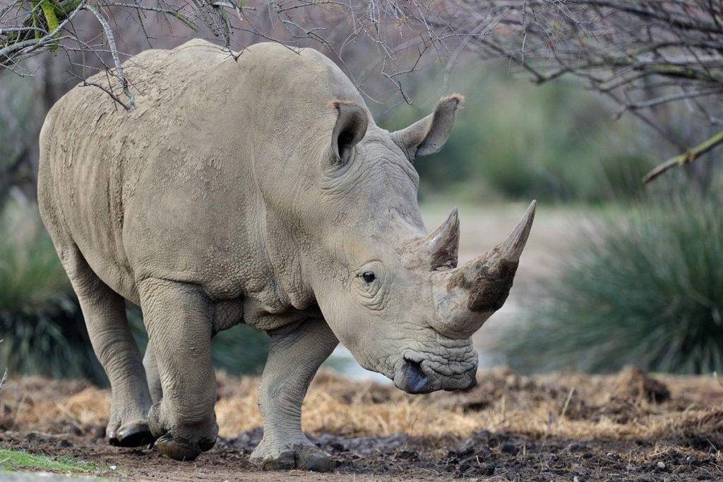 Белый носорог - Ceratotherium simum
