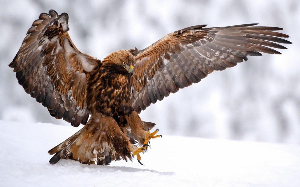 Беркут - golden eagle