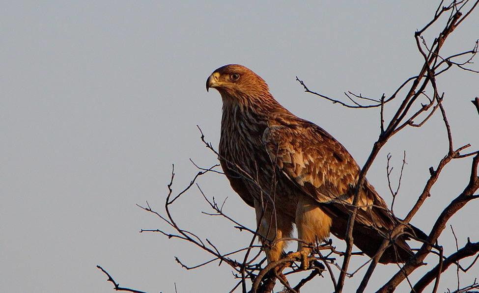 Орёл могильник - Aquila heliaca