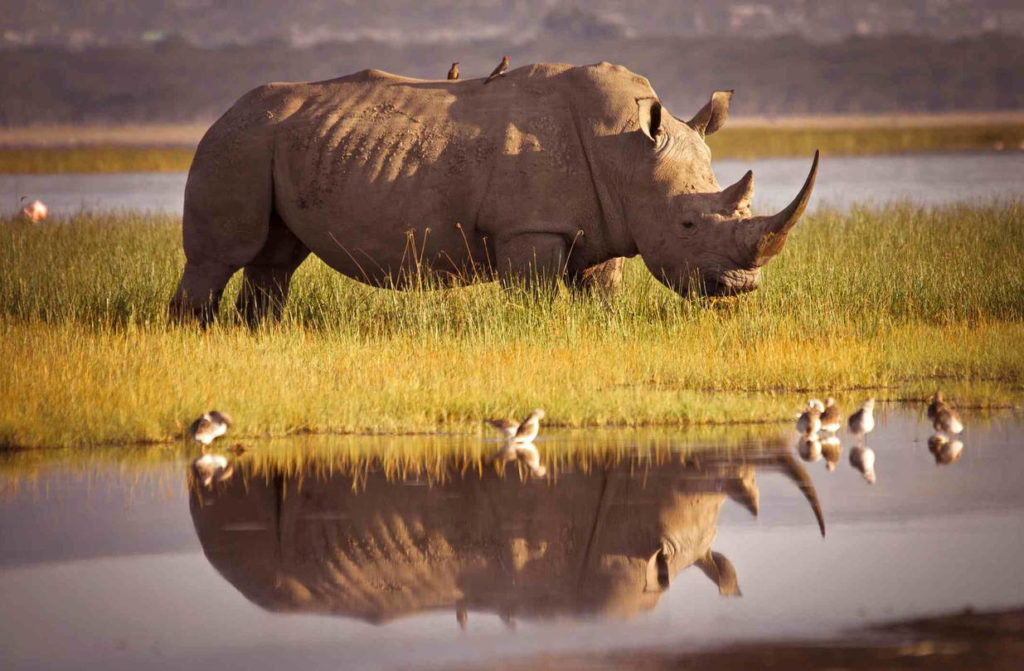 Внешний вид носорога