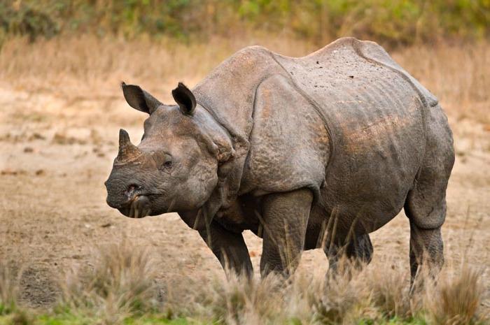 Яванский носорог - Rhinoceros sondaicus