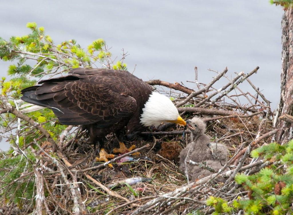 орёл кормит птенцов