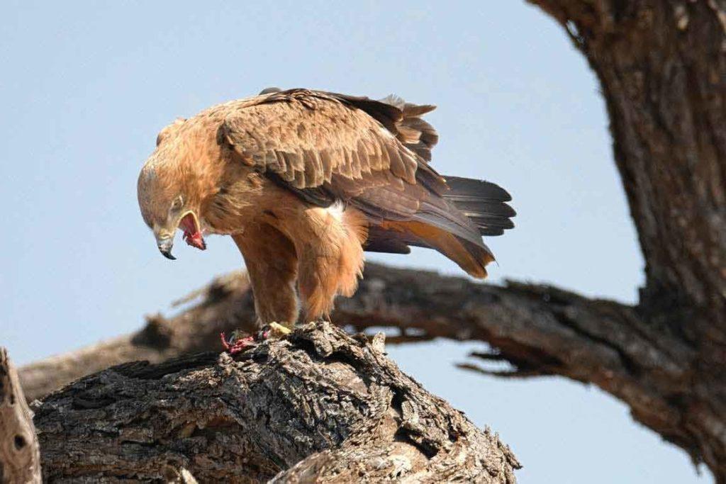 орёл на дереве