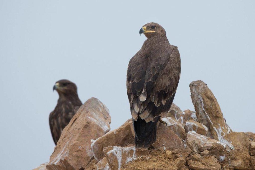 Орёл на камне