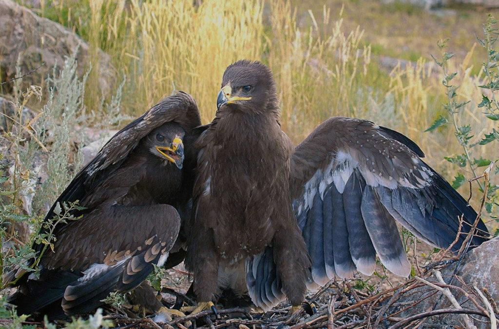 размножение орлов