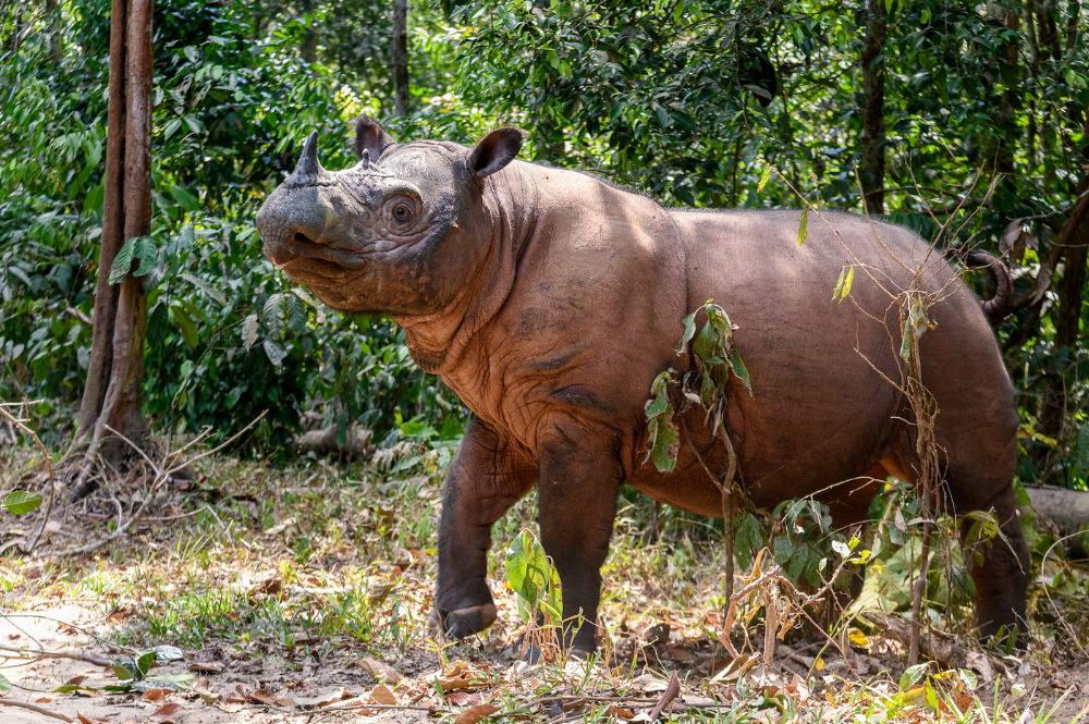 Суматранский носорог - Dicerorhinus sumatrensis