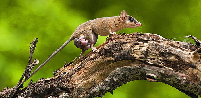 Мышиный карликовый опоссум