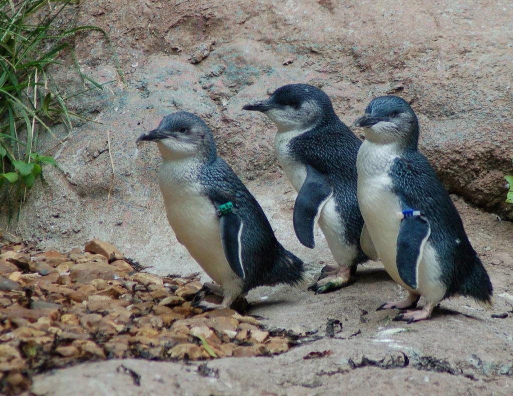 Белокрылые пингвины - Eudyptula minor albosignata