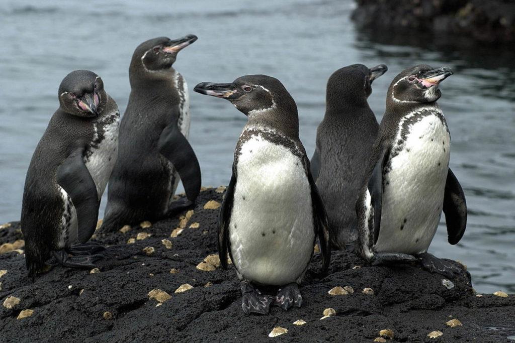 Галапагосский пингвин - Spheniscus mendiculus