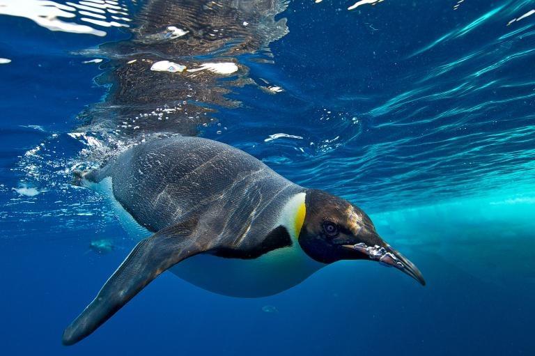 Императорский пингвин - Aptenodytes forsteri