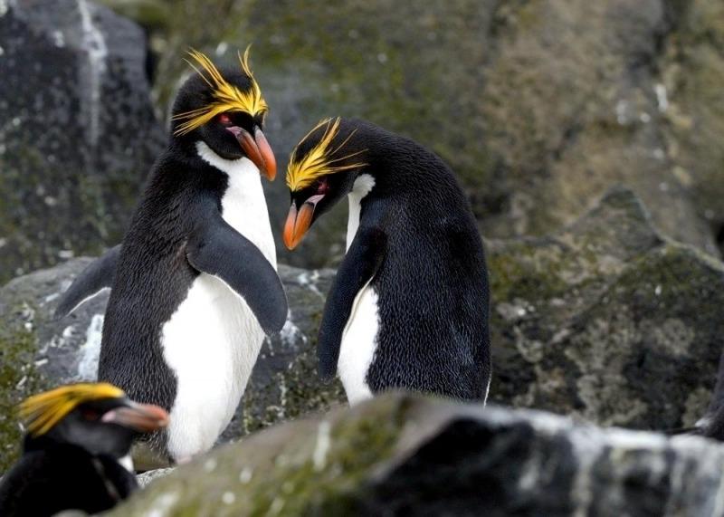 Пингвин Шлегеля - Eudyptes schlegeli