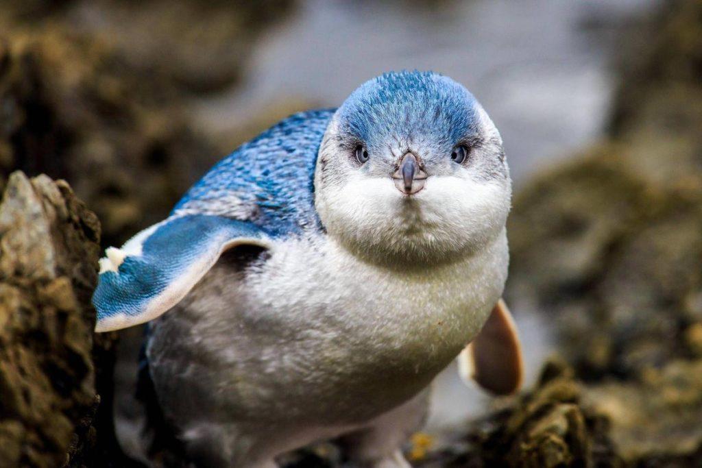 Австралийский пингвин - Eudyptula minor