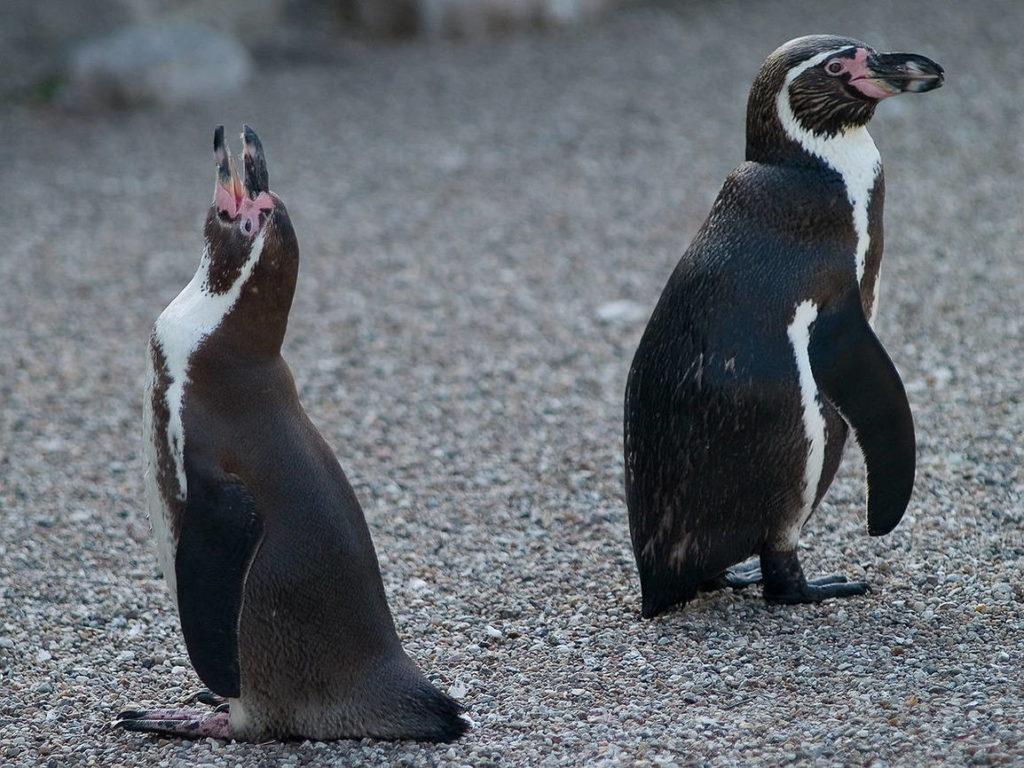 Пингвин Гумбольдта - Spheniscus humboldti